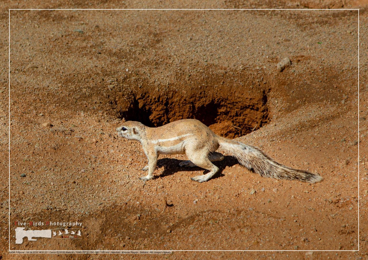 Ground squirrel near the town of Solitaire in the namib desert in Namibia