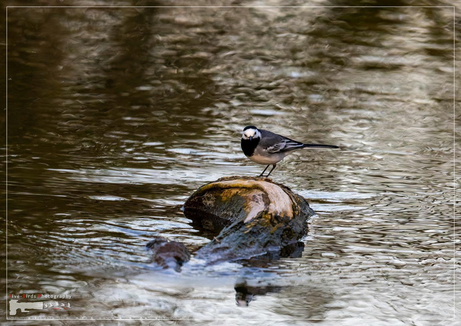 Bachstelze - Motacilla alba am Fluss Zenn